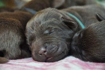 7 days old puppies